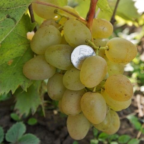 Виноград столовый сорт Монарх