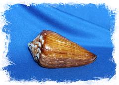 Раковина Conus vexillum, Конус вымпел