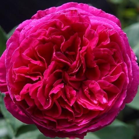 Роза английская душистая Фальстаф