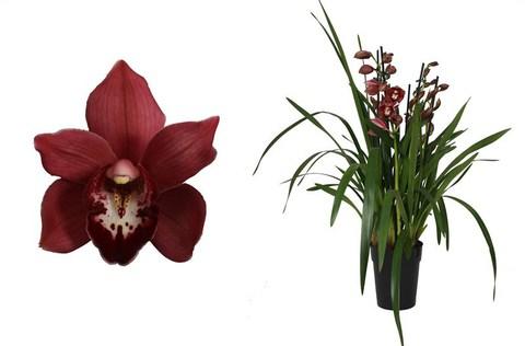 Цимбидиум (Орхидея)