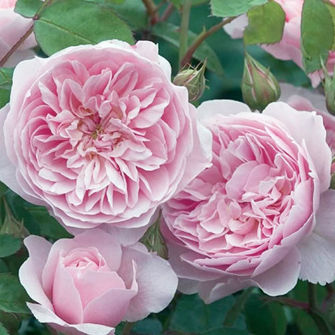 Роза английская Висли