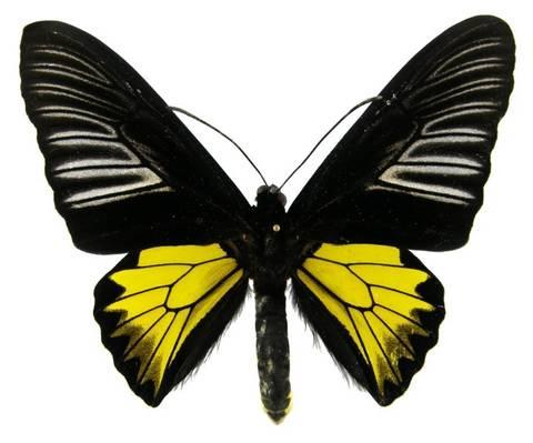 Бабочка золотая птицекрылка