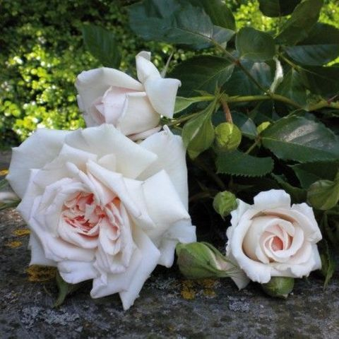 Роза Кустовая Beatrix Potter
