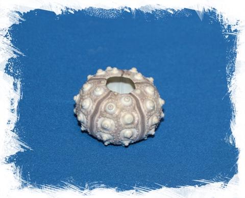 Панцирь морского ежа серый 4 см
