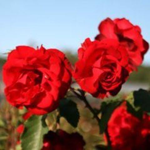 Роза Кустовая Castella