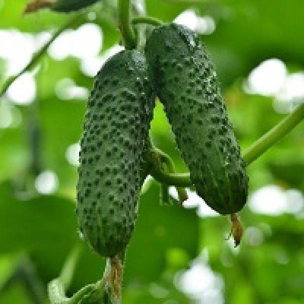 Огурец Герман F1 семена огурца партенокарпического (Seminis / Семинис) Герман_семена_овощей_оптом.jpg