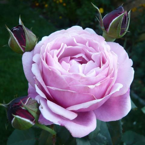 Роза кустовая Dieter Muller