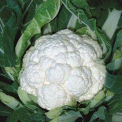 Фридом F1 семена капусты цветной (Seminis / Семинис)