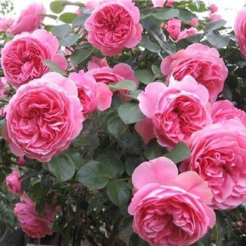 Роза Кустовая Leonardo da Vinci