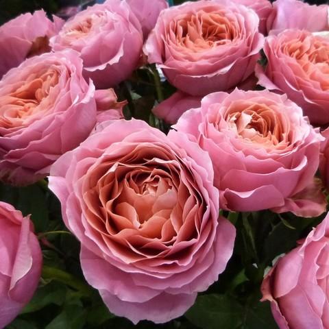 Роза кустовая Romantik antik