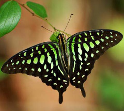 Бабочка Графиум Агамемнон