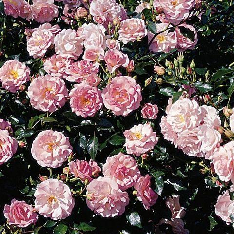 Роза Кустовая Rozario