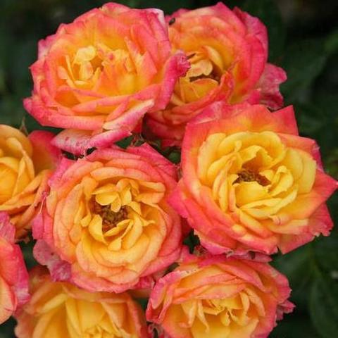 Роза Миниатюрная Little Sunset