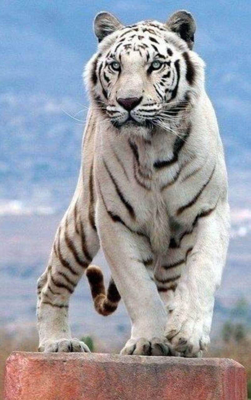Картина раскраска по номерам 50x65 Белый тигр– купить в ...