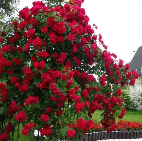 Роза плетистая Nahelglut