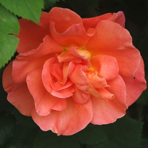 Роза Плетистая Orangedawn
