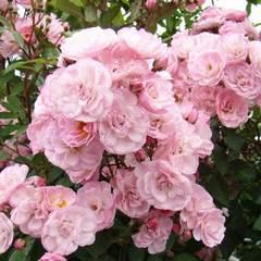 Купить Роза мускусный гибрид Хевенли пинк