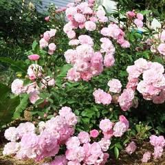 Роза мускусный гибрид Хевенли пинк СевОгород
