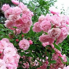 Роза мускусный гибрид Хевенли пинк Северный огород