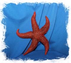 Амурская морская звезда 15-20 см
