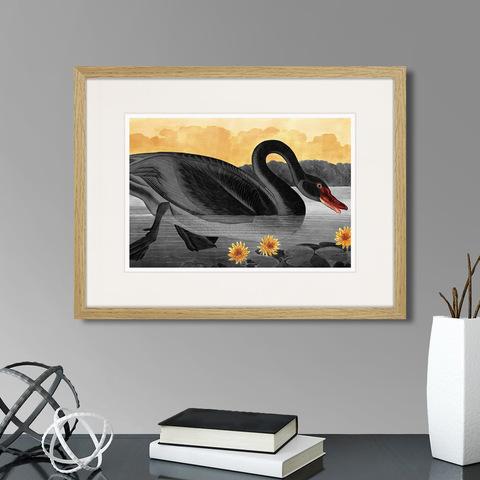 Джон Джеймс Одюбон - Common American Swan (black), 1838г.