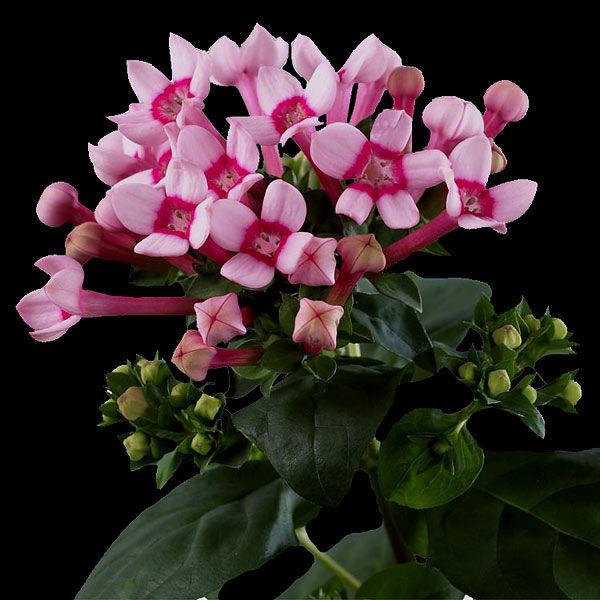 Бовардия розовая