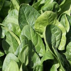 Семена шпината Пума F1, Rijk Zwaan, 1 гр.