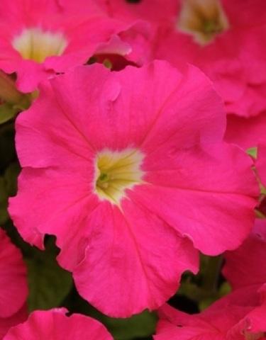 Семена Петуния грандифлора Дримс роуз, 10 драже, Одн