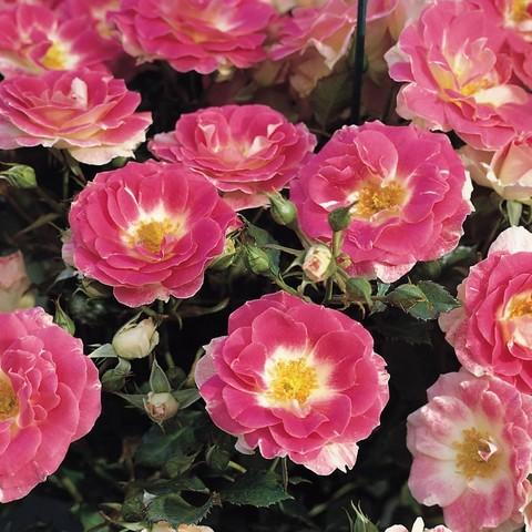Роза Флорибунда  Regensberg