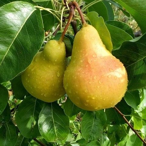 Груша плодовая сорт Лада