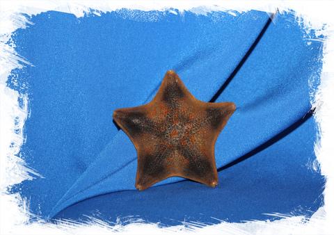 Морская звезда Патирия Гребешковая сушеная