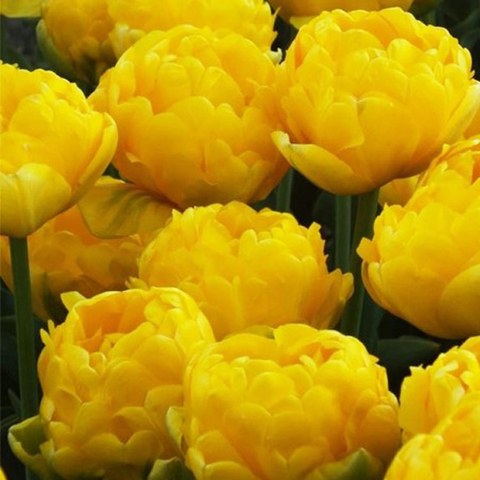 Тюльпан махровый позднийЙеллоу Помпонетт