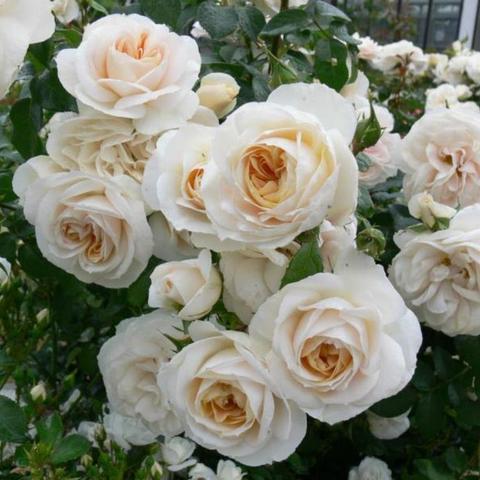 Роза Флорибунда Lions Rose