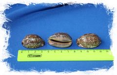 Ципрея Арабика размер