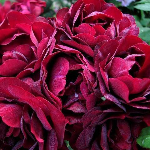Роза Флорибунда Malicorne