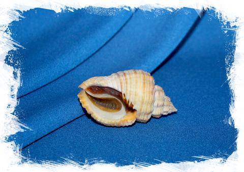 Канварус меланостомус с оперкулумом  (Cantharus melanostomus)