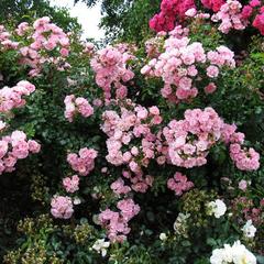 Роза плетистая Эппл Блоссом