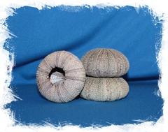 Панцирь Серого морского ежа 4,5-6 см