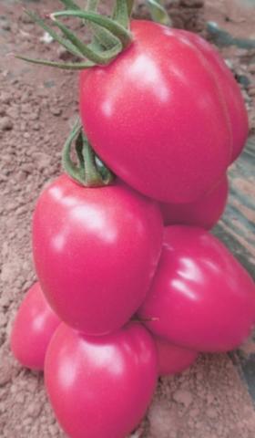 Среднеспелый, индетерминантный розовоплодный гибрид для теплиц.