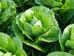 Корбана семена салата ромэн (Enza Zaden / Энза Заден)