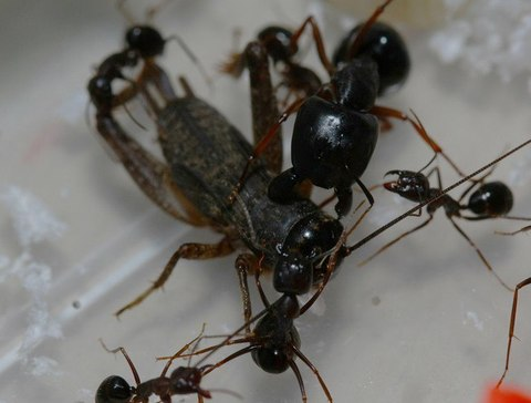 Camponotus largiceps
