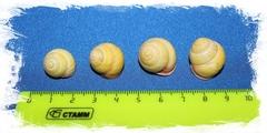 Helicostyla bushi размер