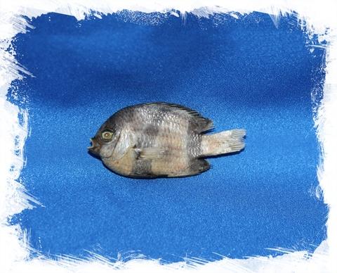 Рыбка Капал