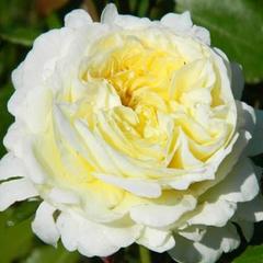Роза парковая Патиенс