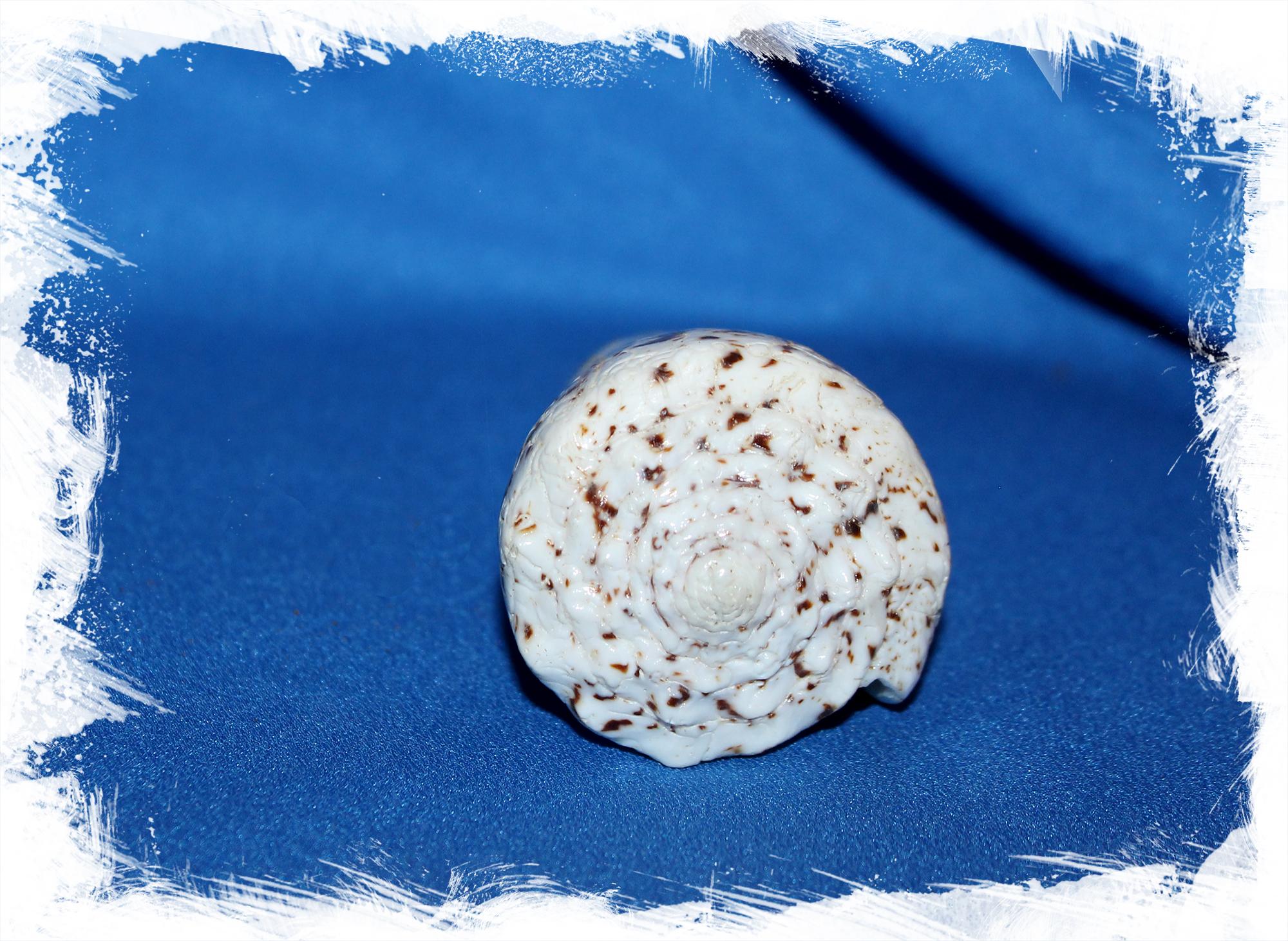 Раковина императорский Конус, Conus imperialis. Конус Империалис