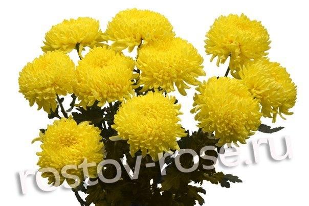 Желтые шарообразные хризантемы