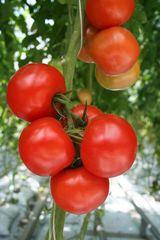 Альгамбра F1 семена томата индетерм.., (Гавриш)