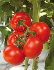 Алькасар F1 семена томата индетерм.., (Гавриш)