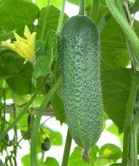 Корентин F1 семена огурца партенокарп., (Seminis / Семинис)