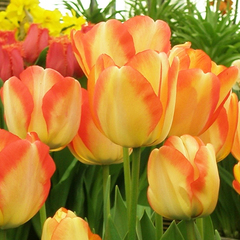 tulip-American-Dream